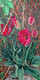 Tulips on the Fence 12x24
